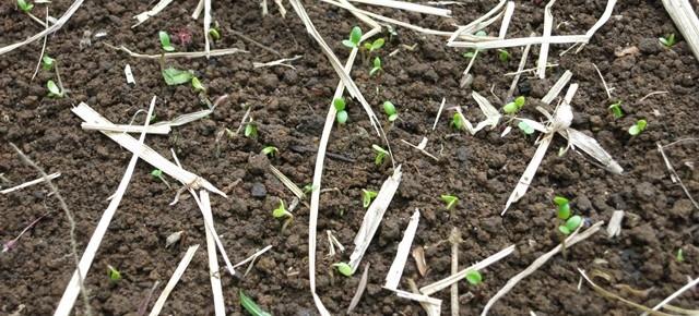 4月24日 藍の種と綿の種が発芽