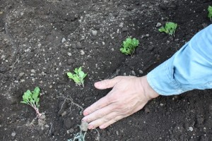 130530 藍の苗に土をかぶせる