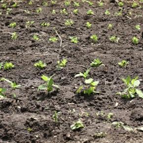 6月1日 藍苗の植え替え